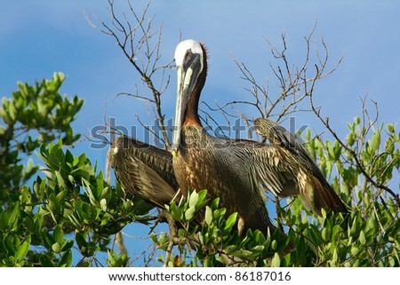 Brown pelican sitting on the mangrove tree - stock photo