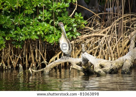 Brown pelican sitting on the roots of mangrove trees - stock photo