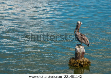 Brown Pelican Standing on Old Piling - stock photo