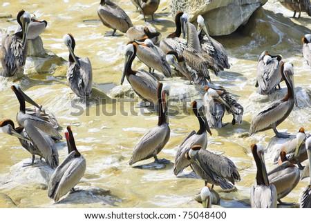 Brown Pelicans grooming at La Jolla coast, San Diego, California - stock photo