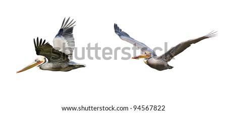Brown Pelicans in Flight - stock photo