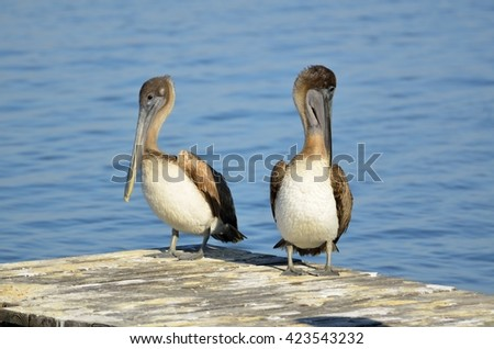 Brown Pelicans on jetty rock - stock photo