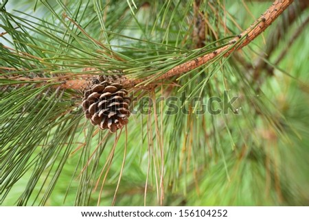 brown pine cone of pine tree - stock photo