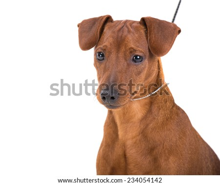Brown pinscher on leash isolated on a white background - stock photo