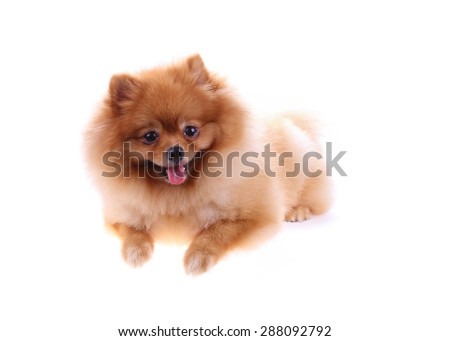 brown pomeranian dog isolated on white background, cute pet in home - stock photo