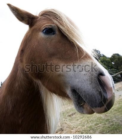 Brown pony - stock photo