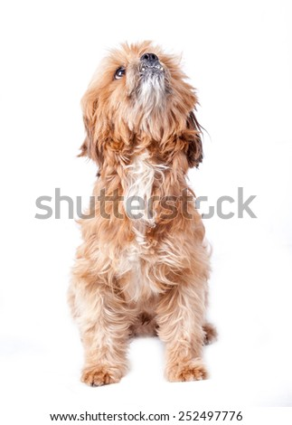 Brown puddle dog - stock photo