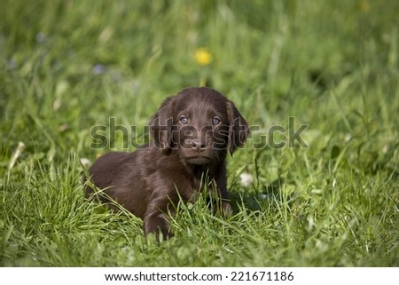 Brown puppy lying in the grass.