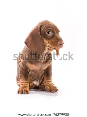 brown puppy of badger-dog - stock photo