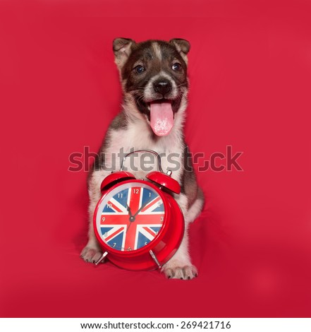 Brown puppy sitting with on alarm clock on red background - stock photo