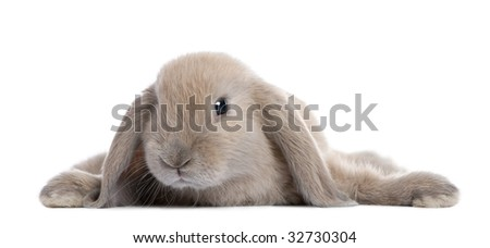 Brown Rabbit lying down in front of a white background - stock photo