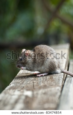 Brown Rat - stock photo