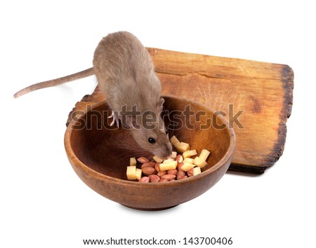 Brown rat eating from wooden plate. Isolated on white background. - stock photo