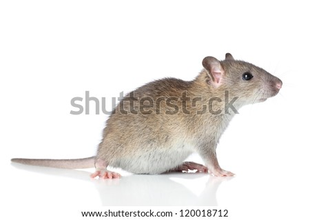 Brown rat posing on a white background (macro) - stock photo