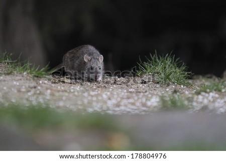 brown rat (Rattus norvegicus) - stock photo