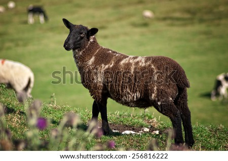 Brown sheep on a hill - stock photo