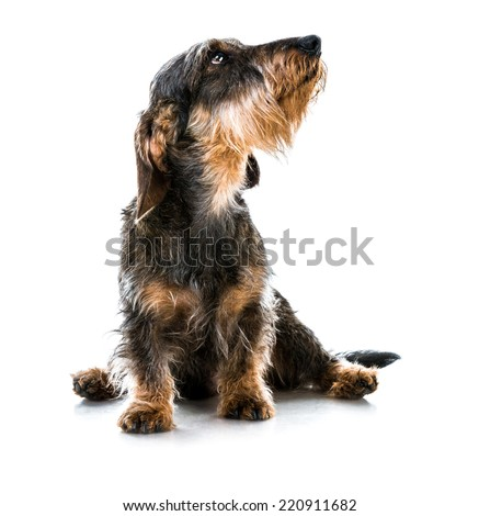 brown short hair dachshund dog on white - stock photo
