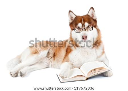 brown siberian husky dog reading in glasses - stock photo