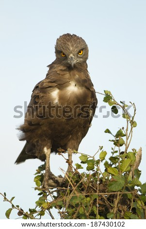 Brown Snake-eagle, Circaetus cinereus, perched in acacia tree in portrait in Lower Mara, Masai Mara Game Reserve, Kenya - stock photo