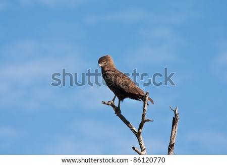 Brown snake eagle sitting in a tree with the blue sky as background