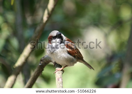 brown sparrow, Passer domesticus, on a branch