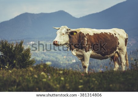 Brown spotted Dutch breed cow with bell on a meadow in Transylvania, Romania. Ecological livestock breeding. - stock photo