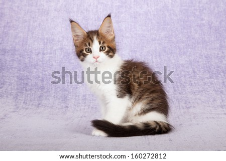 Brown spotted tabby with white Maine Coon kitten sitting on lilac background - stock photo