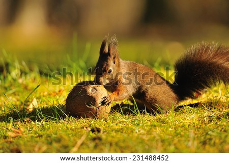Brown squirrel with coconut on green grass