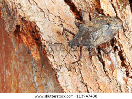 Brown Stink Bug (pentatomidae) Camouflaged against textured Tree Bark