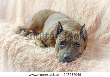 Brown striped pit bull rests on a light fluffy blanket. - stock photo
