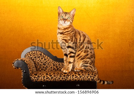 Brown tabby Bengal cat sitting on miniature leopard print chaise sofa chair on yellow gold background - stock photo