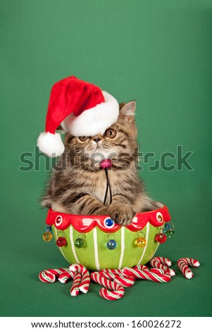 Brown tabby Exotic kitten with Santa cap hat sitting inside Christmas vase container with candy canes on green background