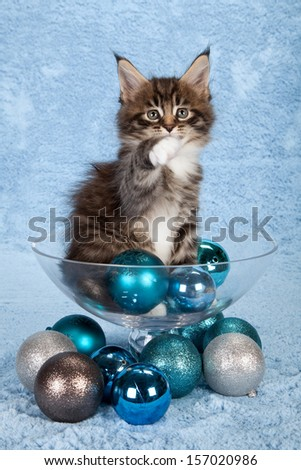 Brown tabby Maine Coon kitten with blue Christmas festive ornaments on blue background - stock photo
