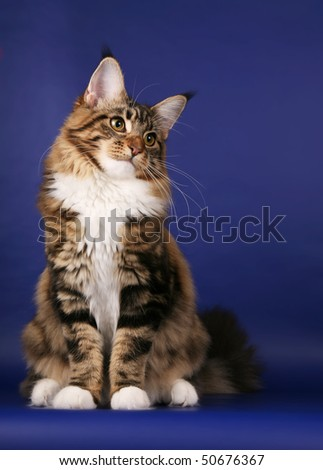 Brown tabby Maine Coon sitting on dark blue background