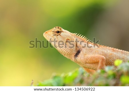 Brown thai lizard on tree