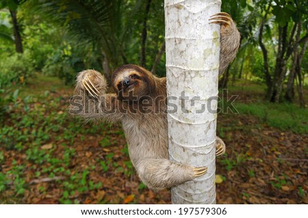 Brown-throated sloth climbs on a tree, Panama, Central America - stock photo