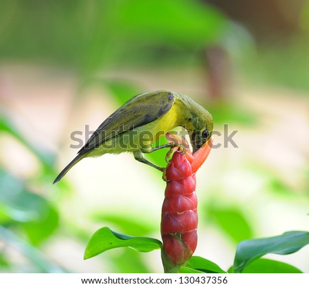 Brown-throated Sunbird  (Anthreptes malacensis) on the flower