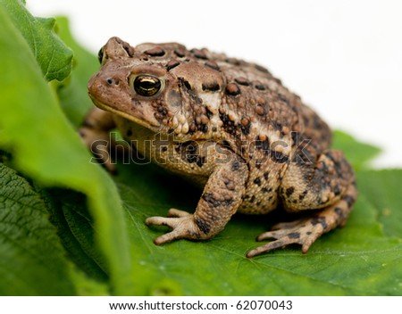 Brown toad  / frog (Bufo gargarizans) on  a green leaf