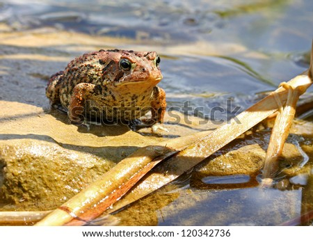 Brown toad / frog in a pond - stock photo