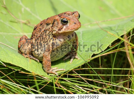 Brown toad / frog on a green leaf - stock photo