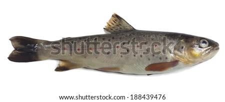 Brown trout, Salmo trutta fario isolated on white background - stock photo