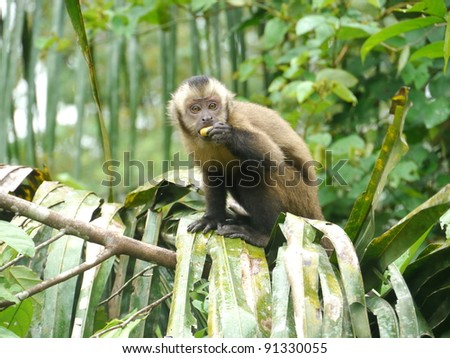 Brown Tufted Capuchin (Cebus paella) surprised while eating - stock photo