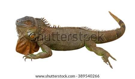 Brown varan isolated on a white surface.