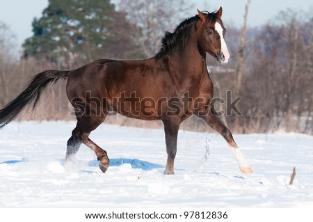 Brown Welsh pony stallion runs trot in winter time