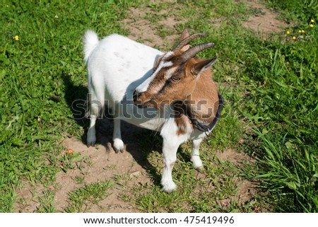 Brown white colored goat in the austrian alps.
