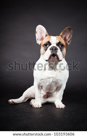 Brown white french bulldog isolated on black background. Studio shot. - stock photo