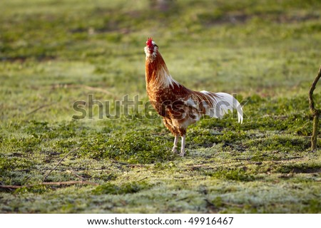 Brown white Rooster walk in the Grass Field