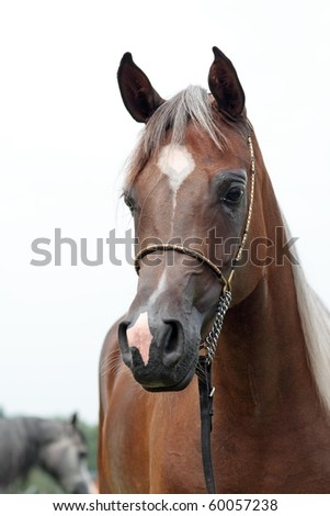 Brown young arabian filly - stock photo