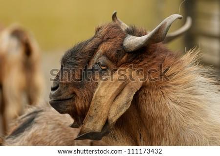 Brownish goat - stock photo