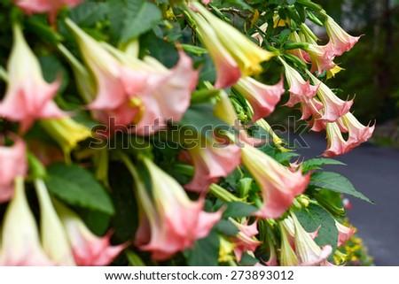 Brugmansia ,Flower - stock photo